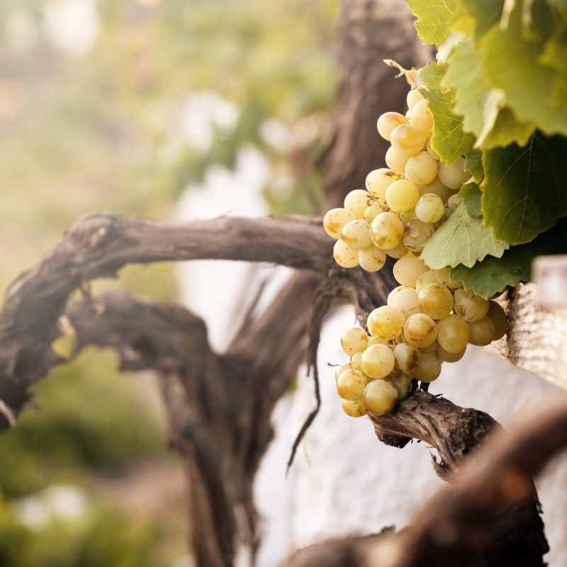 Bunch of white grapes in the vineyard in the Wine Museum of Thira, Santorini, Greece.